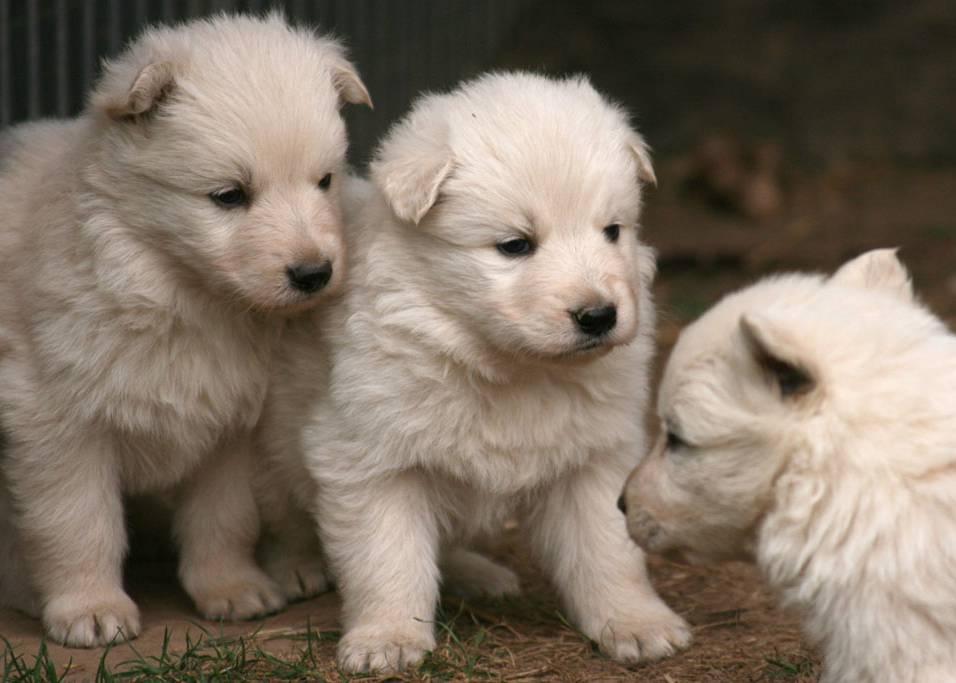 Weisser Schaferhund Welpen White Friends