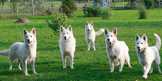 Unsere Hunde - White Friends